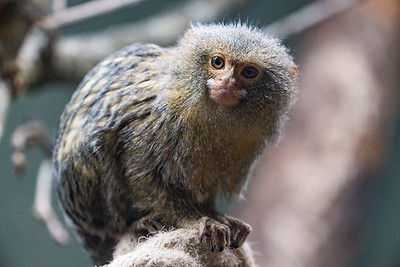 Animals, Marwell Zoo, Pygmy Marmoset @ MarWell Zoo, City of Winchester,England