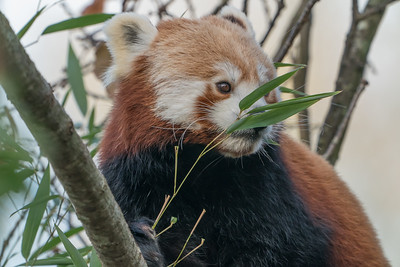 Animals, Marwell Zoo, Red Panda @ Colden Common, City of Winchester,England