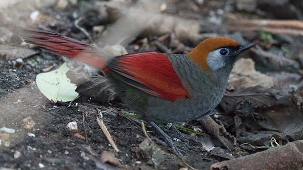 Animals, Birds, Laughingthrush, Marwell Zoo, Red-Tailed Laughingthrush, Walkthrough Aviary @ MarWell Zoo, City of Winchester,England