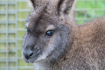 Animals, Marwell Zoo, Red-necked Wallaby, Wallaby @ Colden Common, City of Winchester,England