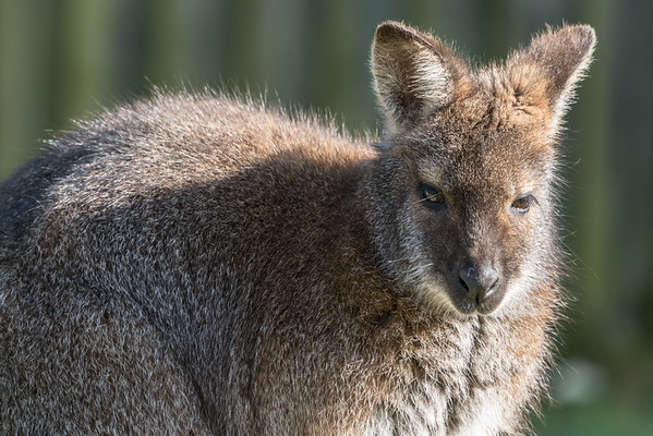 Animals, Marwell Zoo, Red-necked Wallaby, Wallaby @ Marwell Zoo, City of Winchester,England - 24/02/2018