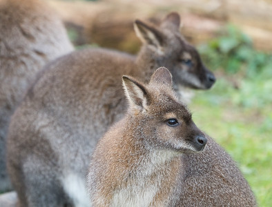 Animals, Marwell Zoo, Red-necked Wallaby, Wallaby
