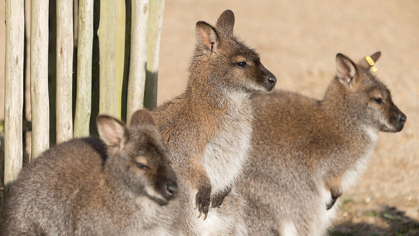 Animals, Marwell Zoo, Red-necked Wallaby, Wallaby @ MarWell Zoo, City of Winchester,England
