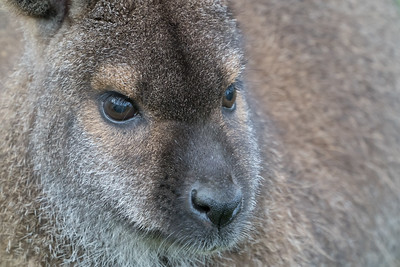 Animals, Marwell Zoo, Red-necked Wallaby, Wallaby - 09/12/2017