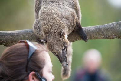 Animals, Coati, Marwell Zoo, Ring-tailed Coati - 30/03/2016