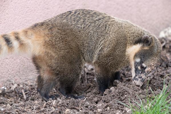 Animals, Coati, Marwell Zoo, Ring-tailed Coati @ Marwell Zoo, City of Winchester,England - 22/03/2018