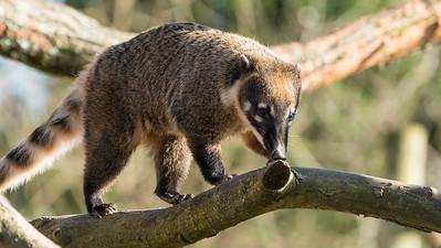 Animals, Coati, Marwell Zoo, Ring-tailed Coati @ Marwell Zoo, City of Winchester,England - 24/02/2018