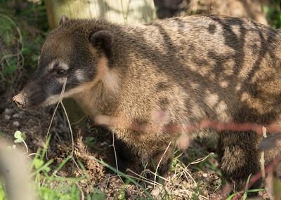 Animals, Coati, Marwell Zoo, Ring-tailed Coati