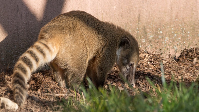 Animals, Coati, Marwell Zoo, Ring-tailed Coati @ Marwell Zoo, City of Winchester,England - 24/02/2018