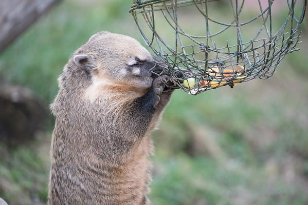 Animals, Coati, Marwell Zoo, Ring-tailed Coati, Zoo - 26/02/2016
