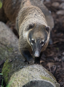 Animals, Coati, Marwell Zoo, Ring-tailed Coati @ Marwell Zoo, City of Winchester,England - 26/04/2018