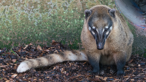 Animals, Coati, Marwell Zoo, Ring-tailed Coati @ MarWell Zoo, City of Winchester,England