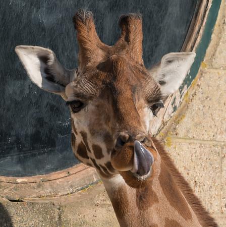 Animals, Giraffe, Marwell Zoo, Rothschilds Giraffe @ Marwell Zoo, City of Winchester,England - 24/02/2018