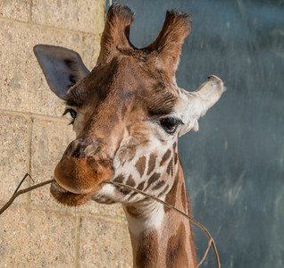 Animals, Giraffe, Marwell Zoo, Rothschilds Giraffe @ Marwell Zoo, City of Winchester,England - 04/02/2018