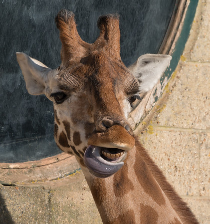 Animals, Giraffe, Marwell Zoo, Rothschilds Giraffe @ Marwell Zoo, City of Winchester,England - 24/02/2018