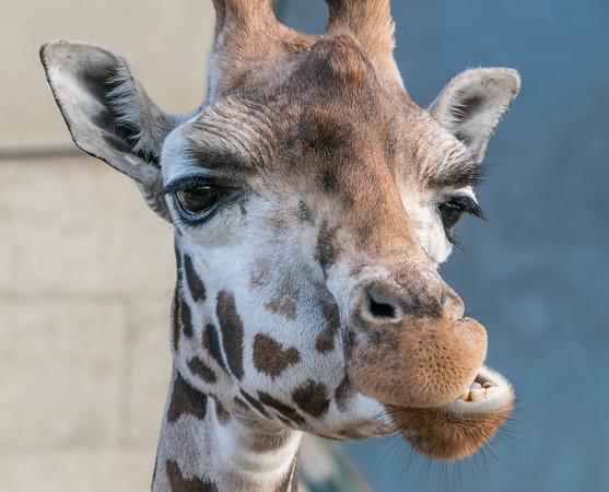 Animals, Giraffe, Marwell Zoo, Rothschilds Giraffe @ Marwell Zoo, City of Winchester,England - 28/01/2018