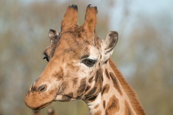 Animals, Giraffe, Marwell Zoo, Rothschilds Giraffe - 09/12/2017