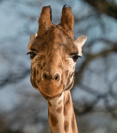 Animals, Giraffe, Marwell Zoo, Rothschilds Giraffe @ Colden Common, City of Winchester,England