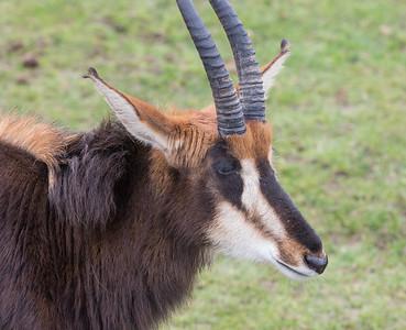 Animals, Antelope, Marwell Zoo, Sable Antelope - 20/03/2012