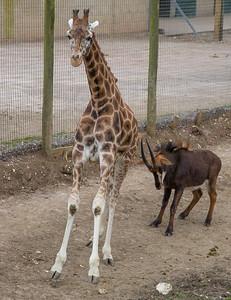 Animals, Antelope, Giraffe, Marwell Zoo, Rothschilds Giraffe, Sable Antelope - 20/03/2012