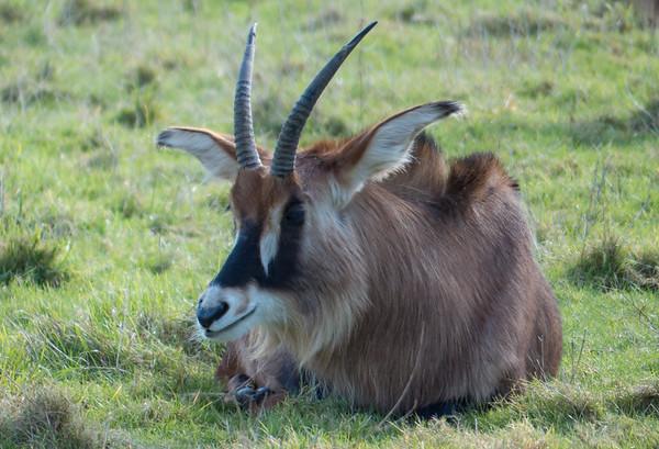 Animals, Antelope, Marwell Zoo, Sable Antelope - 02/02/2013