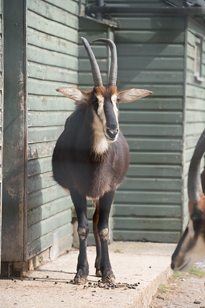 Animals, Antelope, Marwell Zoo, Sable Antelope - 30/03/2016