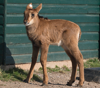 Animals, Antelope, Marwell Zoo, Sable Antelope @ Marwell Zoo, City of Winchester,England - 24/02/2018