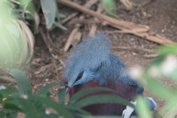 Animals, Birds, Marwell Zoo, Pigeon, Sciaters Crowned Pigeon, Tropical House @ Marwell Zoo, City of Winchester,England - 26/04/2018