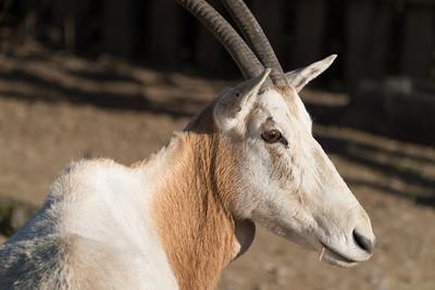 Animals, Marwell Zoo, Scimitar-horned oryx @ MarWell Zoo, Owslebury,England