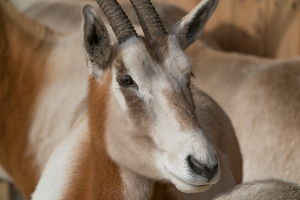 Animals, Marwell Zoo, Scimitar-horned oryx - 09/12/2017
