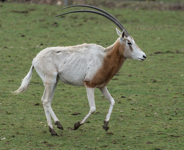 Animals, Marwell Zoo, Scimitar-horned oryx @ Marwell Zoo, City of Winchester,England - 22/03/2018