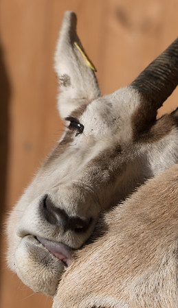 Animals, Marwell Zoo, Scimitar-horned oryx @ MarWell Zoo, City of Winchester,England
