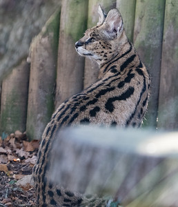 Animals, Big Cat, Marwell Zoo, Serval