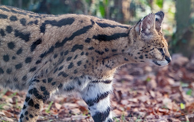 Animals, Big Cat, Marwell Zoo, Serval @ Colden Common, City of Winchester,England