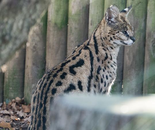 Animals, Big Cat, Marwell Zoo, Serval