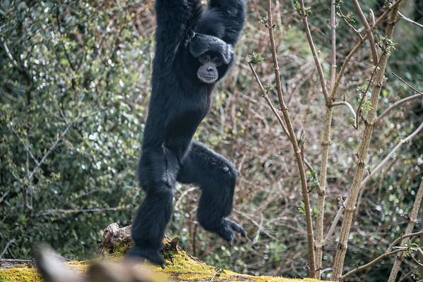Animals, Gibbon, Marwell Zoo, Siamang Gibbon - 30/03/2016