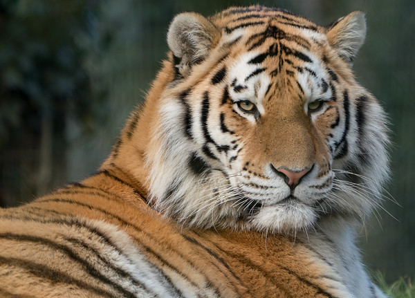 Amur Tiger, Animals, Big Cat, Marwell Zoo, Siberian Tiger, Tiger @ Colden Common, City of Winchester,England - 16/12/2017
