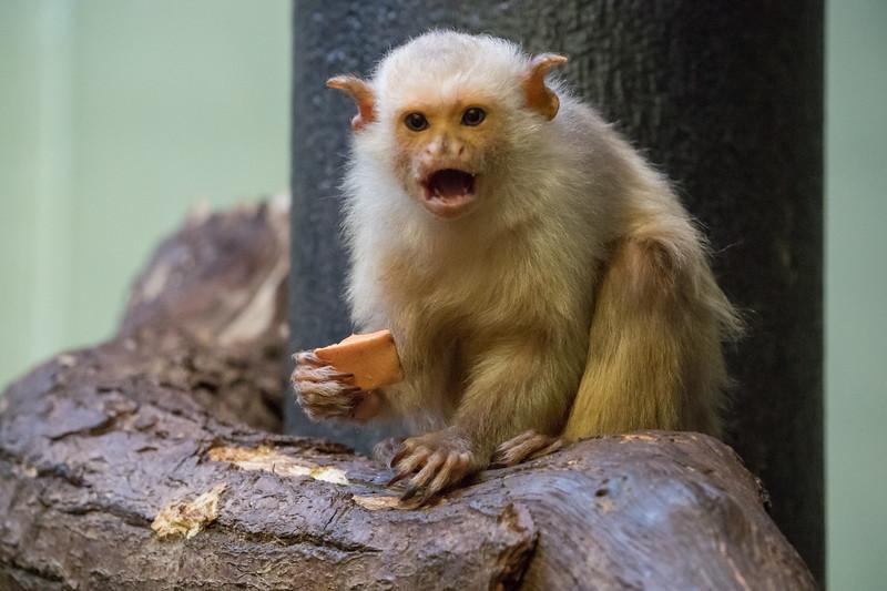 Animals, Marwell Zoo, Silvery Marmoset - 09/12/2017