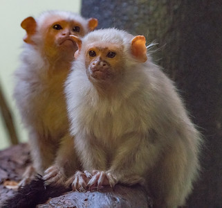 Animals, Marwell Zoo, Silvery Marmoset; ,,,