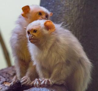 Animals, Marwell Zoo, Silvery Marmoset; ,,,