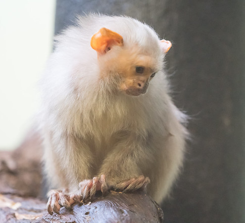 Animals, Marwell Zoo, Silvery Marmoset