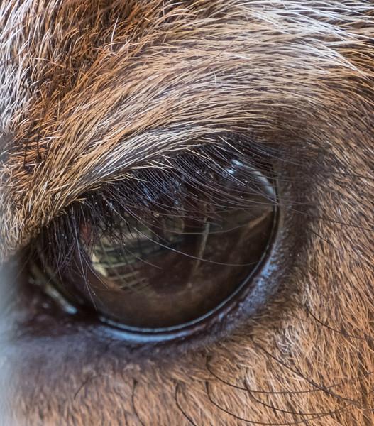 Animals, Marwell Zoo, Sitatunga @ Marwell Zoo, City of Winchester,England - 24/02/2018