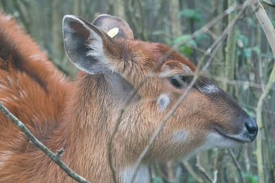 Animals, Marwell Zoo, Sitatunga