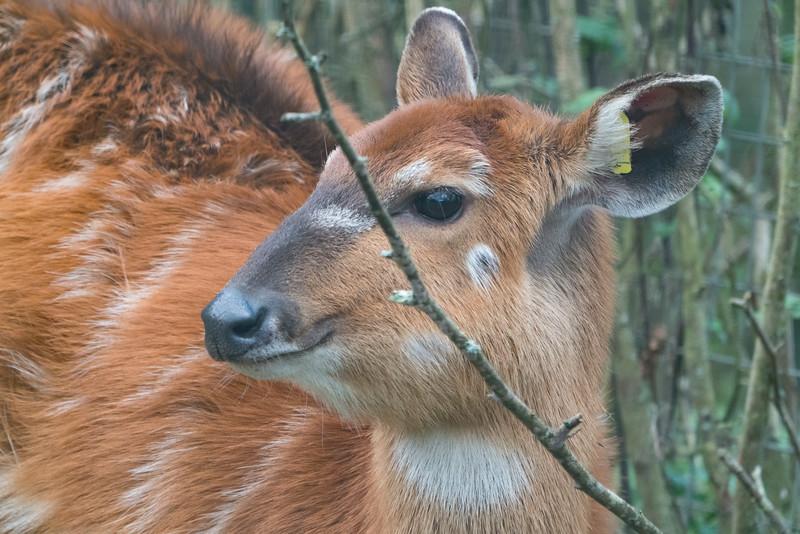 Animals, Marwell Zoo, Sitatunga