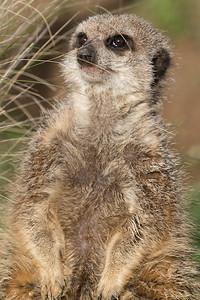 Animals, Marwell Zoo, Meerkat, Slender-tailed Meerkat @ Colden Common, City of Winchester,England - 16/12/2017