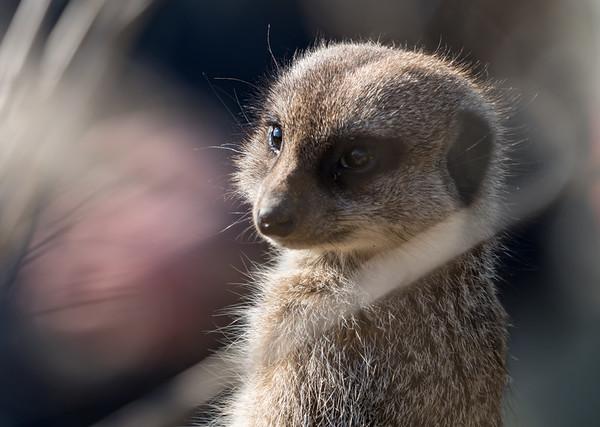 Animals, Marwell Zoo, Meerkat, Slender-tailed Meerkat @ Marwell Zoo, City of Winchester,England - 24/02/2018