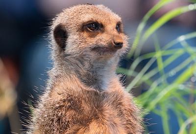 Animals, Marwell Zoo, Meerkat, Slender-tailed Meerkat - 19/11/2017