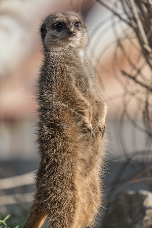 Animals, Marwell Zoo, Meerkat, Slender-tailed Meerkat @ Marwell Zoo, City of Winchester,England - 07/01/2018
