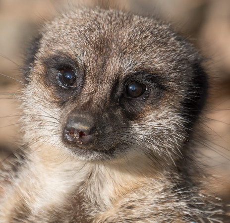 Animals, Marwell Zoo, Meerkat, Slender-tailed Meerkat @ Marwell Zoo, City of Winchester,England - 24/02/2018