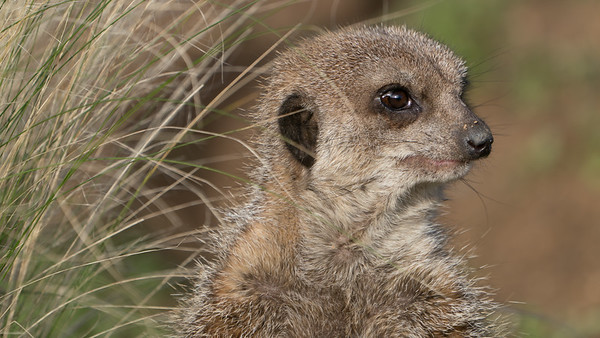 Animals, Marwell Zoo, Meerkat, Slender-tailed Meerkat @ Colden Common, City of Winchester,England - 16/12/2017